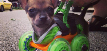 439Featureurboroo-3D-printed-wheel-chair-chihuahua-3