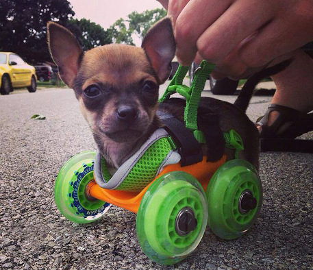 439featureurboroo 3d printed wheel chair chihuahua 3