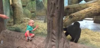 young gorilla plays peek a boo toddler