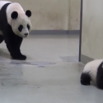 Cute Baby Panda Tries To Get Out Of Nap Time