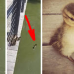 Mother Duck Leaves Ducklings Behind On The Dock, What They Do Will Have You Smiling.