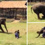 An Elephant's Trainer Gets Attacked, And Her Reaction? Is Amazing!